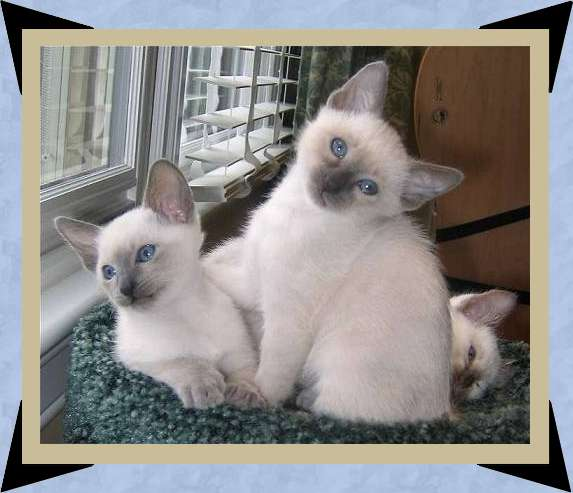 two blue point females
