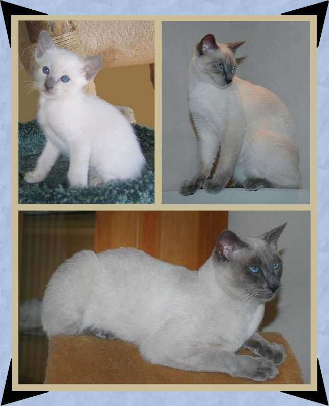 Blue point male stud. He is happily meeting queens needs in the Netherlands at Cattery Mostiamo